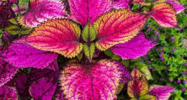 mooie blad bloem van rode siernetel plant aard in de zomer foto