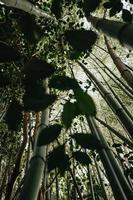 een achtergrond van lange bamboebomen foto