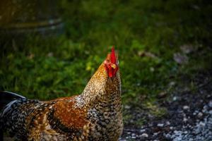 kleurrijke kip op de werf foto