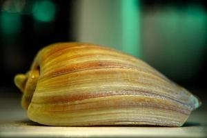 close-up van roze zeeschelp foto
