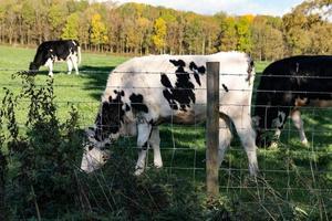 zwart en wit vee bij een hek foto