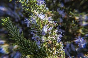 202144 montemezzo rozemarijn in bloei foto