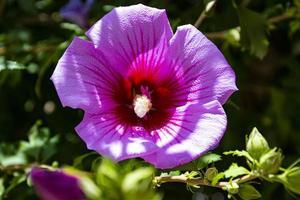 roze hibiscus in de heuvels foto