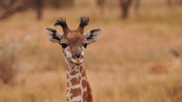 een baby Afrikaanse giraf die recht kijkt foto