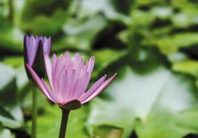 roze lotusbloem met groene bladeren in de vijver foto