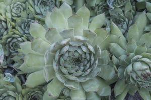 achtergrond van bleke groene vetplanten close-up textuur van vetplanten foto