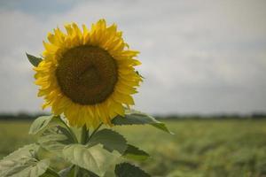 gele zonnebloem in het veld groene bladeren foto
