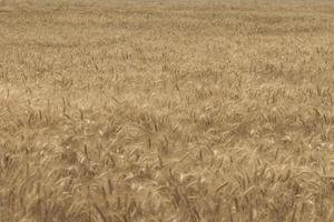 rogge veld tarweveld met de zon gouden tarwe oren close-up een verse oogst van rogge foto