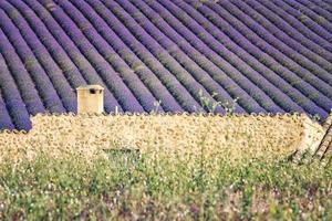 lavendelveld in provence frankrijk foto
