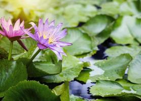 violette en roze lotusbloemen met groene bladeren in vijver foto
