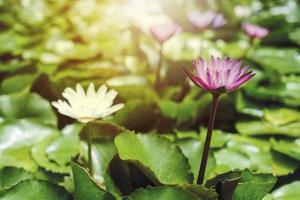 roze en witte lotusbloemen met groene bladeren in vijver foto