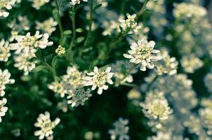 iberis saxatilis amara of bitter candytuft veel witte bloemen foto