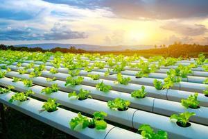 plantaardige groene eik groeit in pvc-pijp hydrocultuur systeem stroom water en bemesting automatisering op plantperceel foto