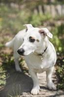 witte hondenras jack russell terrier foto
