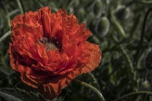 scharlaken papaver bloeit op een papaverbehang opiumbloem foto