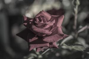lichtrode roos scharlaken fluwelen behang foto