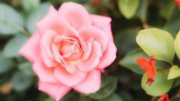close-up roze roos in bloei foto