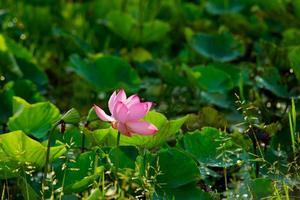 lotusbloem op de ochtend foto