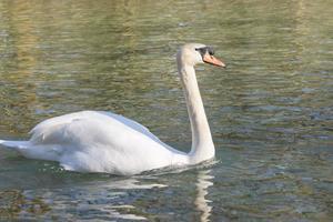 witte zwaan die op meer bij park zwemt foto