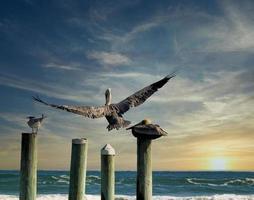 een pelikaan die zijn baars nadert foto