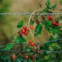 planten op de prikkeldraadomheining foto