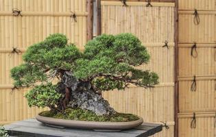 Japanse bonsaiboom foto
