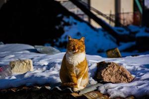 oranje en witte kat foto