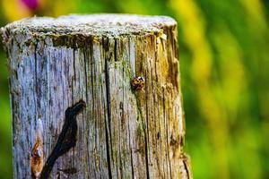 lieveheersbeestje op hout foto