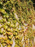 klimop groeit op een stenen muur foto