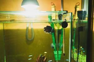 siamese kempvissen betta splendens in een aquarium foto