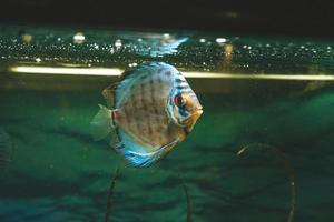 exotische vissen symphysodon discus, in een aquarium foto