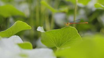 kleine schattige draakvlieg op groen blad foto