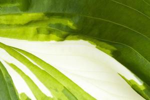 textuur van de rropische plant van de gastheer, close-up foto
