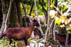 groep geiten foto
