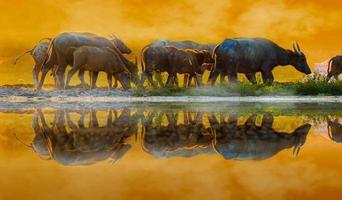 buffel gouden licht weide buffel kudde foto