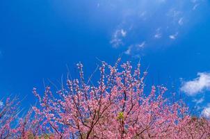 sakura blauwe achtergrond angkhang chiang mai thailand foto