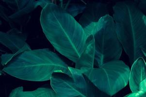 bladeren calathea ornata krijtstreep achtergrond blauw foto
