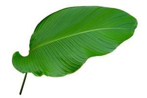 bladeren calathea ornata pin stripe achtergrond wit isolate foto