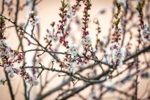 bloeiende takken van een abrikozenboom foto