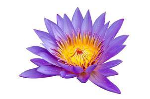 lotus paars isolaat lotus prachtig gebloeid in geel stuifmeel foto