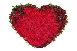hart roos geïsoleerd op de witte achtergrond foto