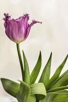 paarse tulp in een vaas in de tuin. voorjaar. bloeien. foto