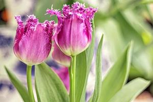 paarse tulpen in een vaas in de tuin. voorjaar. bloeien. foto