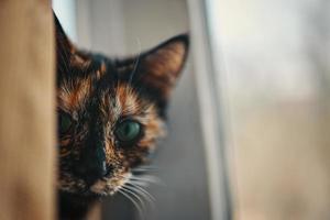 veelkleurige kat gluurt uit achter het gordijn. foto