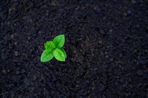 ontwikkeling van zaailing groei aanplant zaailingen jonge plant in de ochtend licht op natuur achtergrond foto