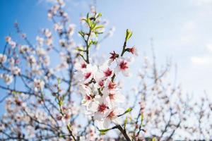 amandelbloesem tegen een blauwe lucht, lentebloei van amandelboombloemen in spanje foto