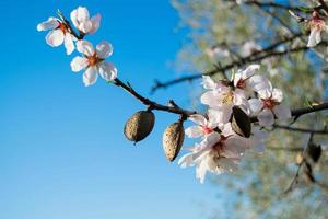 de amandelboom bloeit met takken en amandelnoot close-up, wazige achtergrond foto