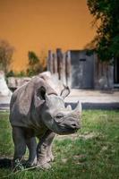 zwarte neushoorn in dierentuin foto