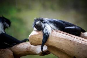 angola colobus slapen foto
