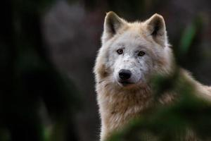 portret van poolwolf foto